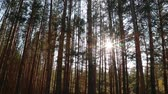 Suns rays pass through the trees. Pine forest.