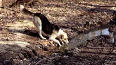 ostrý : Dog drinking from puddle in forest.