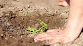 plant fertilizer : Woman close up on hand planting tomato seedling in her garden. Child help water. Stock Footage