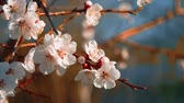 narin : Blooming tree with flowers in spring. Beautiful soft focus footage of spring flowers. Stok Video