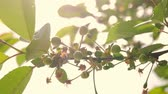ботаника : Close up of young cherries hanging on a cherry tree branch. Calyx is falling and young fruit is growing.
