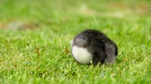pták : Close up newborn black and white chicken on the grass field on green background. Easter concept.