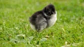 kura : Close up newborn black and white chicken on the grass field on green background. Easter concept.