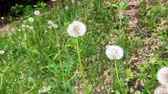 delicado : Dandelions meadow green grass background. View of dandelion in cinematography style.
