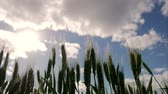 рожь : Field of green ears and cloudy sky. Close-up of green wheat ears in sunny day with clouds.