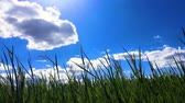 plodiny : Beautiful green field under blue sky, timelapse