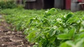 papa : Potato bush in the garden. Stock Footage