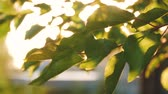 beleza na natureza : Through the beautiful green leaves of a tree the sun breaks. Stock Footage
