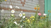 trawnik : Family home with spring flowers. Wideo