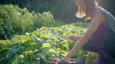 amateur : Farmer girl with digital tablet, vegetables crop in the kitchen garden. Harvest time. Family farmers. The concept of organic food. Stock Footage