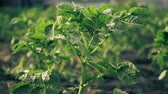 cultivating : Potato bush in the garden. Stock Footage