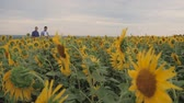 reap : Two friend farmer rancher ,funny around situation on the sunflower field. Partner farmers men analyzing sunflower field collaboration and talking about harvest.