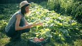checkered : Farmer girl with digital tablet, vegetables crop in the kitchen garden. Harvest time. Family farmers. The concept of organic food. Stock Footage