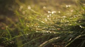 bright colors : Drops of dew on a green grass.