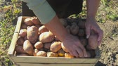 harvesting vegetables : Adult woman farmer collects and sorts fresh potatoes into wooden box. Harvest of young potatoes is harvested in garden. The concept of ecological food and vegetarianism.