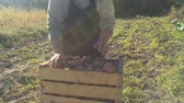 sorts : Adult woman farmer collects and sorts fresh potatoes into wooden box. Harvest of young potatoes is harvested in garden. The concept of ecological food and vegetarianism.