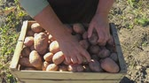 colheita : Adult woman farmer collects and sorts fresh potatoes into wooden box. Harvest of young potatoes is harvested in garden. The concept of ecological food and vegetarianism.