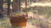 vime : Wicker basket full of various kinds of mushrooms in a forest. Stock Footage