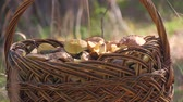 枝編み細工 : Wicker basket full of various kinds of mushrooms in a forest. 動画素材