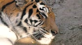 snout : The face of a tiger close up. Stock Footage
