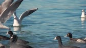 martı : Wild ducks and seagulls swim in search of food. Birds swing on the waves. Blue waves shimmer in the sunlight. Stok Video