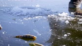 sport fishing : Winter Ice fishing concept. Perch fish lies on frozen lake ice.