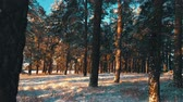 jinovatka : Pine trees covered with snow on frosty day. Fantastic winter landscape. Sun in the wood between the trees strains in winter period. Christmas background with snowy fir trees.