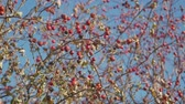 ilaç : Red hawthorn berries on a bare branch without leaves against the sky. Red hawthorn berries on a frosty morning in November. Stok Video