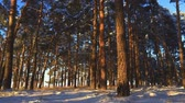 сосна : Pine trees covered with snow on frosty day. Fantastic winter landscape. Sun in the wood between the trees strains in winter period. Christmas background with snowy fir trees.