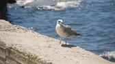 Funny seagull bird standing on the seashore close up.