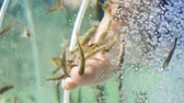 pés : Pedicure fish spa. Rufa garra fish spa treatment. Close up of fish and feet in blue water. Spa pedicure and treatment.