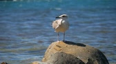racek : Funny seagull bird standing on the seashore close up.