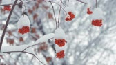 üvez ağacı : Red rowan berries covered by snow at winter cold day. Winter landscape with snow-covered mountain ash.
