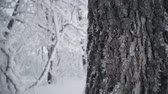zúzmara : Snow-covered tree branch in winter forest, static video. Stock mozgókép