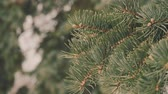 dondurucu : Winter pine branch, snowflakes on a branch, spruce leaves with water drops close-up. Beautiful natural view with the drifts of snow on the branches of spruce and sun in the winter forest at sunset.