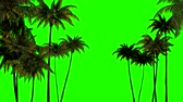 3d animation for keying, three palm trees on a green chromakey Stok Video