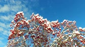 яма : Rowanberry  in winter. Looking up through the rowan-tree branches and red  berries clusters with snow caps at the sky with clouds