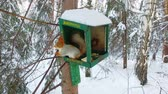 сугроб : Red squirrel on a tree in the bird feeder, slow motion video