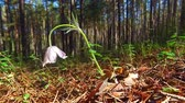 размыто : Motion video of spring-flowering pasque Pulsatilla flowers in the pine forest at Spring time