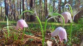 cowberry : Purple Pasque-flowers in the pine forest at Spring time