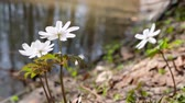 kar taneciği : Anemone altaica flowers in spring siberian forest near small creek Stok Video