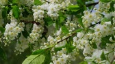 jinovatka : Bird-cherry flowers under the snow in the spring Spring snowfall in Siberia. Novosibirsk, Russia