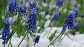 hyacint : Muscari flowers under the snow in the late Spring snowfall in Siberia. Novosibirsk, Russia