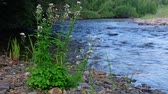river rapids : Cardinal flowers on the bank of river Koyard in Sayans, Krasnoyarsk region