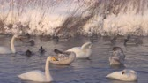 Swans Cygnus cygnus on Altai lake Svetloe in the evaporation of the mist at evening time in winter Vídeos