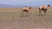 Bactrian camels in mongolian stone desert. Western Mongolia. Vídeos