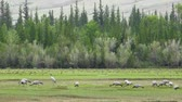 ornitoloji : A large flock of cranes (crane belle or Anthropoides virgo) grazing in a meadow. Northern mongolia