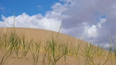 altay : Grass Psammochloa villosa in mongolian sand desert natural environment. Large barkhan in Mongolia sandy dune desert Mongol Els. Govi-Altay, Mongolia. Stock Footage