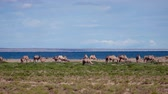 camel : Herd of bactrian camels graze in mongolian desert. On the background is a lake Durgen Nuur. Khovd province, Western Mongolia. Stock Footage