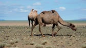 Couple of Bactrian camels in mongolian stone desert. Khovd province, Western Mongolia.
